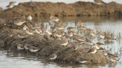 Dunlin / Bécasseau variable / Calidris alpina 01 Stock Footage