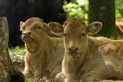 two calves - stock photo