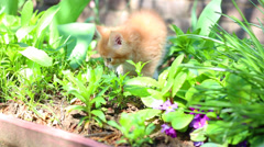 Red kitten playing outdoors Stock Footage