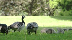 Four goose and the goslings fs700 odyssey 7q Stock Footage