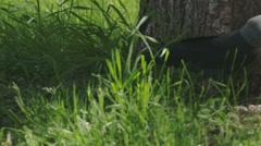 A black jackdaw hopping fs700 odyssey 7q Stock Footage