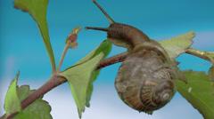 The slug eating some leaf fs700 odyssey 7q Stock Footage