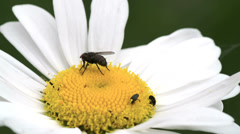 A big fly on the mayweed flower fs700 odyssey 7q Stock Footage