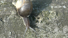 Ultra HD 4K Snail animal cross rock stone asphalt slow motion slug small eyes  Stock Footage