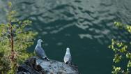 Stock Video Footage of Two Gulls on Rock