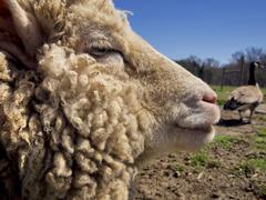 Sheep Profile Stock Photos