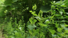Aristolochia clematitis, European Birthwort - zoom in - stock footage