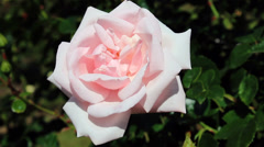 Beautiful full-blown pink rose in the garden Stock Footage
