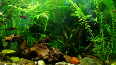 Beautiful decoration home aquarium with aquatic plants and fish fry Stock Footage