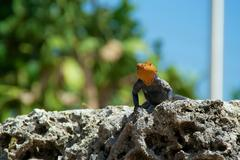 Stock Photo of red-headed rock agama lizard looking at viewer