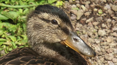 Wild Duck, juvenile mallard - anas platyrhynchos close up head - stock footage