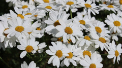 Camomiles swaying in the wind Stock Footage