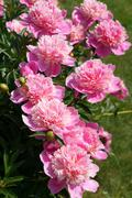 flowering shrub pink peonies - stock photo