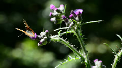 Red admiral on thistle Stock Footage