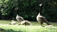 Canadian geese little babies with parents by the water Stock Footage