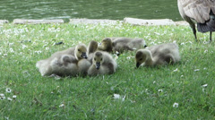 Baby geese by the water Branta Canadensis Stock Footage