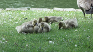 Stock Video Footage of Baby geese by the water Branta Canadensis