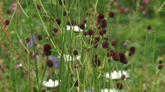 Great Burnet, Sanguisorba officinalis, in bloom + zoom out wildflower meadow Stock Footage