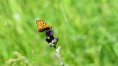 Silver-washed fritillary on a thistle Stock Footage