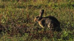 European Rabbit, Lapin de garenne, Oryctolagus cuniculus 01 Stock Footage