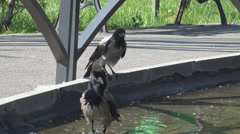 Crow bird couple family drink water lake natural park corvus raven summer day  - stock footage