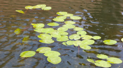 Lily pads floating in a pond Stock Footage