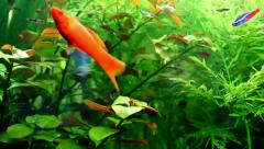 Exotic dance goldfish Stock Footage