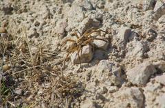 lycosa tarantula over stony area - stock photo