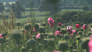 Stock Video Footage of Opium poppies in English hilside