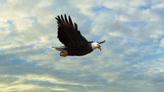 Bald Eagle in the glide  Close-Up Stock Footage