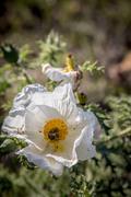 White Prickly Poppy Stock Photos