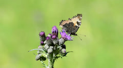 Red admiral on thistle - stock footage