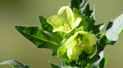 Yellow henbane Stock Footage