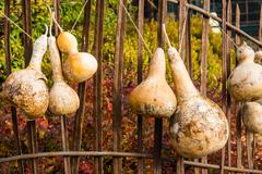 dried gourds hanging from a fence - stock photo