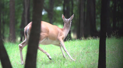 Whitetail Deer - stock footage