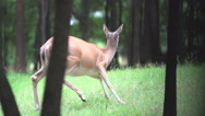 Stock Video Footage of Whitetail Deer