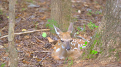Whitetail Deer Baby - stock footage