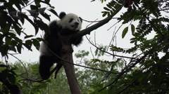Giant Panda resting in a tree Stock Footage