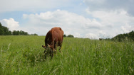Stock Video Footage of bull graze in pasture surrounded by horseflies gadfly insects