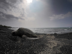 Seaturtle in Kiholo Bay Stock Footage