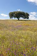 lonely holm oak - stock photo