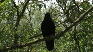 Stock Video Footage of Carrion Crow (Corvus corone) perched in tree + zoom out + zoom in