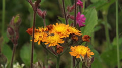 Stock Video Footage of Orange Hawkweed, Pilosella aurantiaca blooming - close up + hover fly