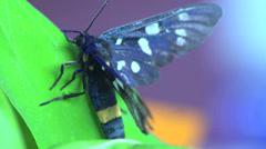 Butterfly Aellopos titan macro Stock Footage