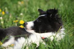 Nice puppy of border collie in flowers Stock Photos