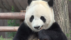 Close up of Giant Pand eating bamboo Stock Footage