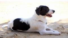 Relaxing Dog at the Hot Summer Beach in Tropical Thailand. Stock Footage