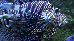 Devil firefish Pterois miles close up in coral reef aquarium Stock Footage