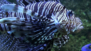 Stock Video Footage of Devil firefish Pterois miles close up in coral reef aquarium