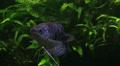 Three spot gouramy or blue gouramy Trichogaster trichopterus in aquarium Footage